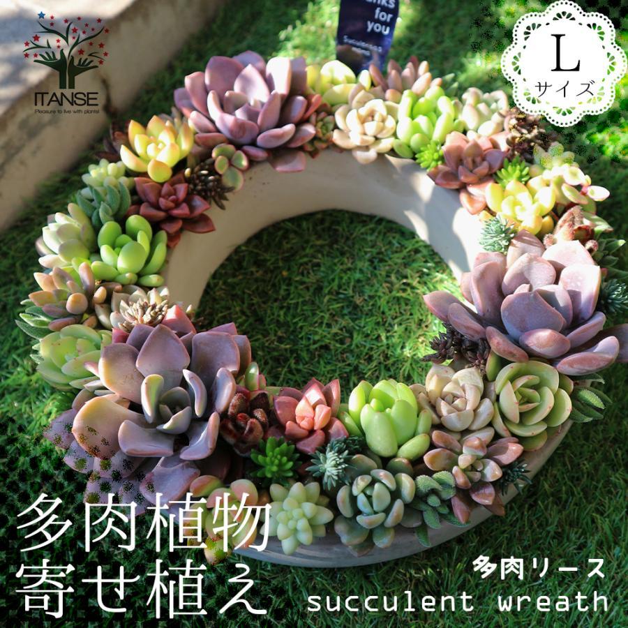 多肉植物 寄せ植え succulent wreath L(多肉リースL) 多肉植物  サイズイメージ:高さ約10cm×幅約26cm×奥行約26cm 1個売り  送料無料|itanse