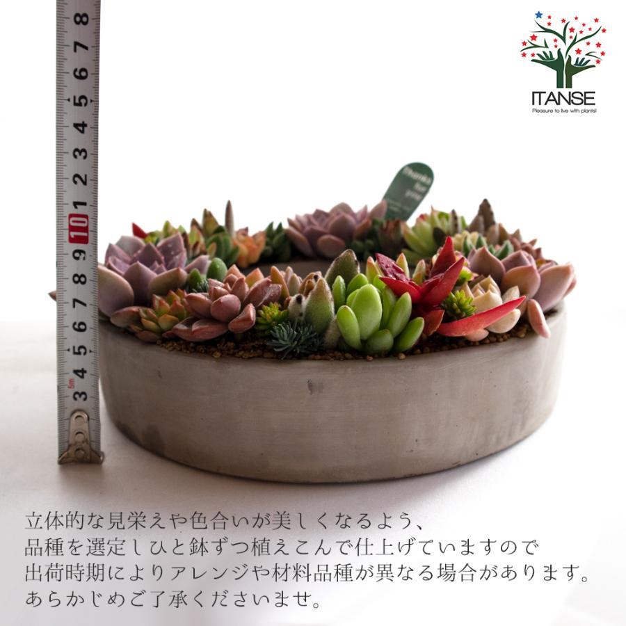 多肉植物 寄せ植え succulent wreath L(多肉リースL) 多肉植物  サイズイメージ:高さ約10cm×幅約26cm×奥行約26cm 1個売り  送料無料|itanse|02