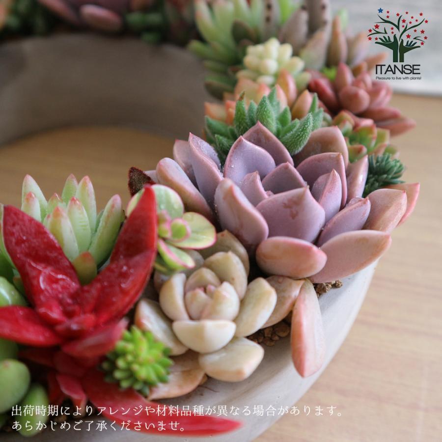 多肉植物 寄せ植え succulent wreath L(多肉リースL) 多肉植物  サイズイメージ:高さ約10cm×幅約26cm×奥行約26cm 1個売り  送料無料|itanse|11