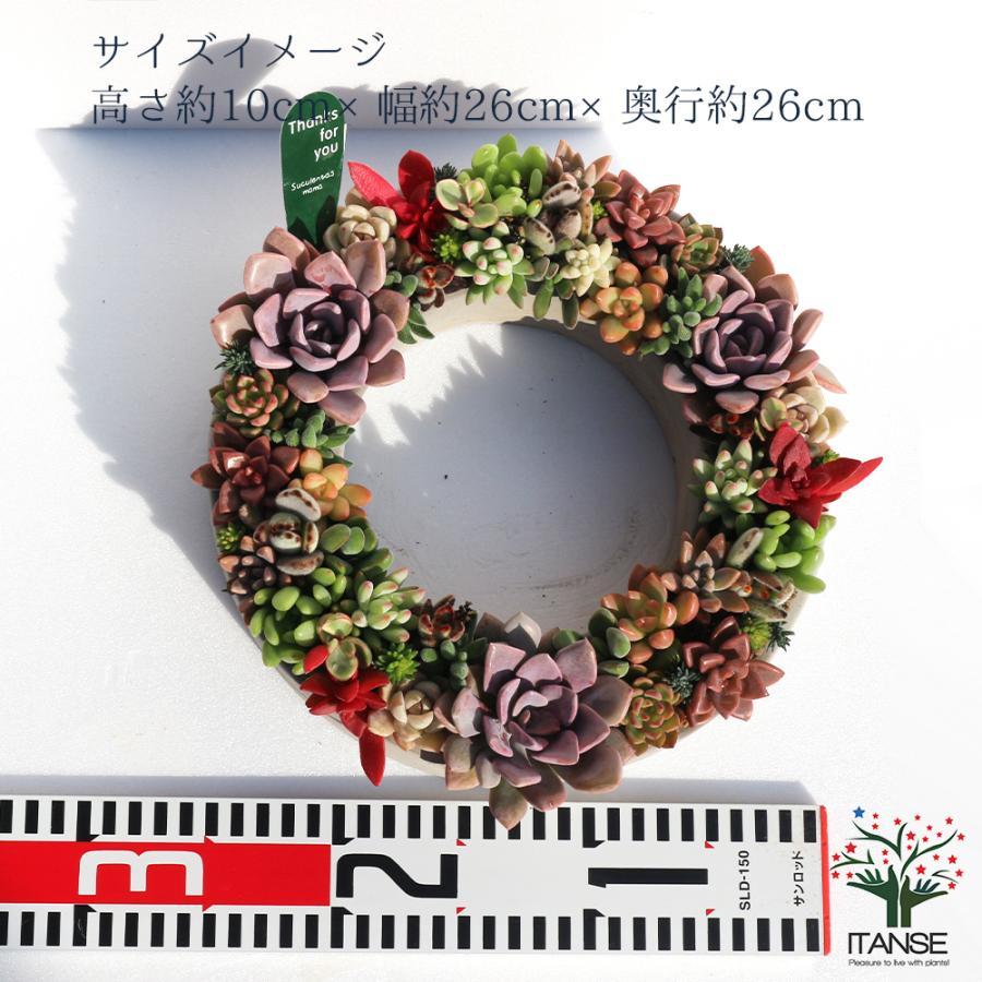 多肉植物 寄せ植え succulent wreath L(多肉リースL) 多肉植物  サイズイメージ:高さ約10cm×幅約26cm×奥行約26cm 1個売り  送料無料|itanse|03