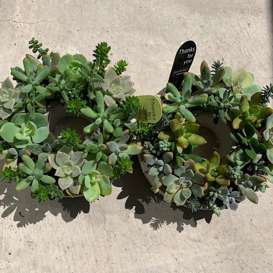 多肉植物 寄せ植え succulent wreath L(多肉リースL) 多肉植物  サイズイメージ:高さ約10cm×幅約26cm×奥行約26cm 1個売り  送料無料|itanse|04