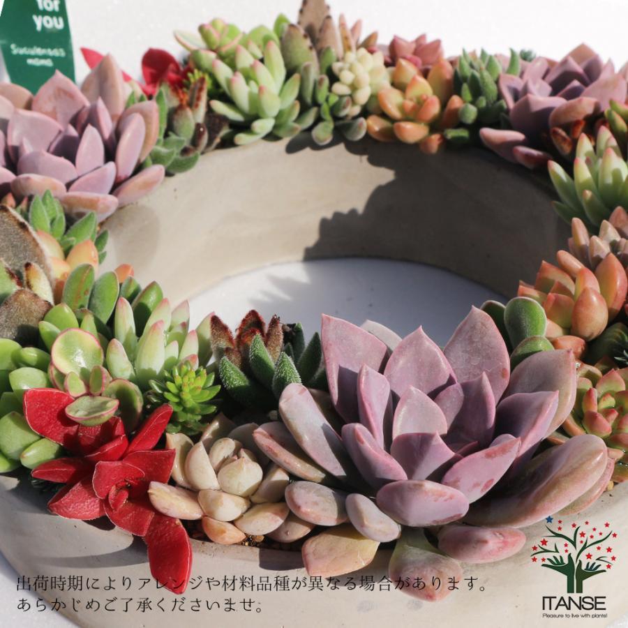 多肉植物 寄せ植え succulent wreath L(多肉リースL) 多肉植物  サイズイメージ:高さ約10cm×幅約26cm×奥行約26cm 1個売り  送料無料|itanse|05
