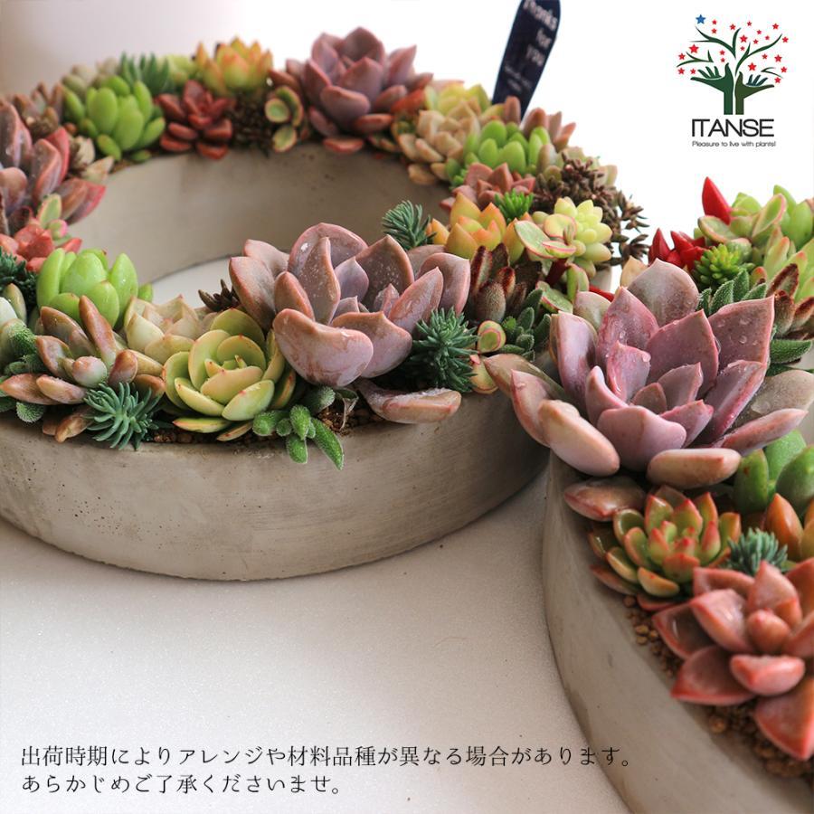 多肉植物 寄せ植え succulent wreath L(多肉リースL) 多肉植物  サイズイメージ:高さ約10cm×幅約26cm×奥行約26cm 1個売り  送料無料|itanse|06