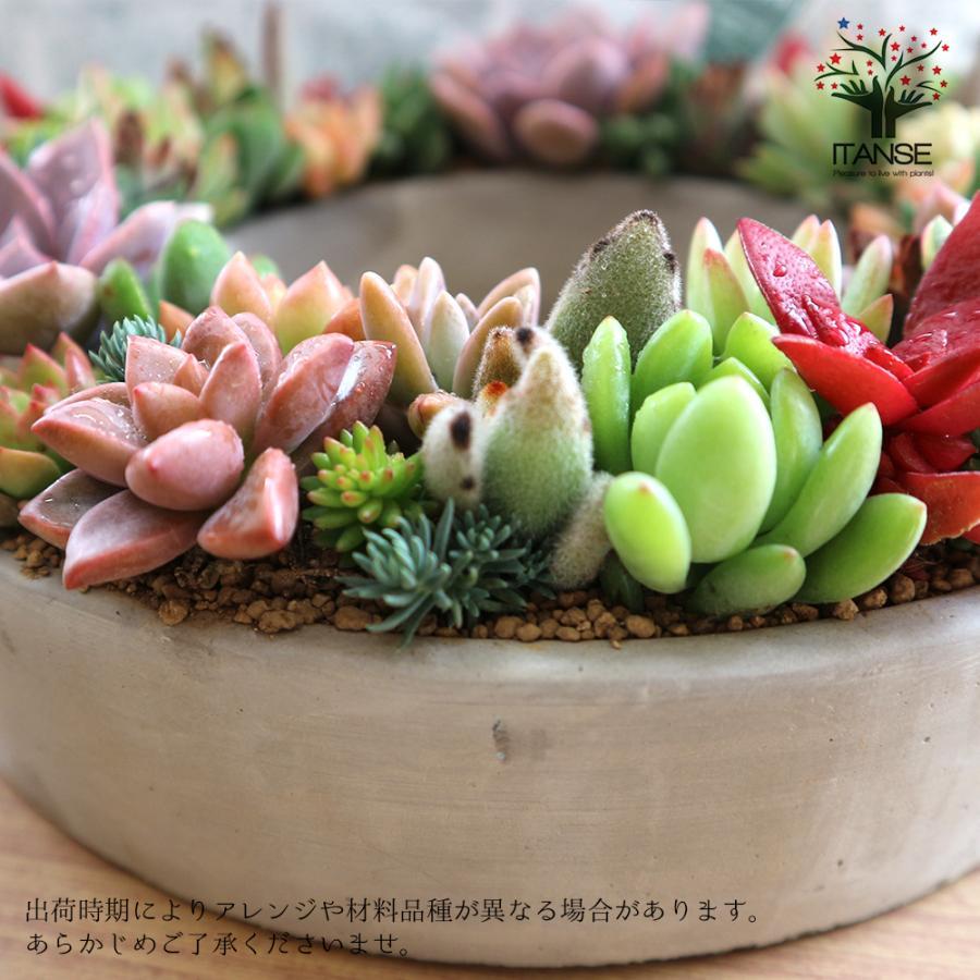 多肉植物 寄せ植え succulent wreath L(多肉リースL) 多肉植物  サイズイメージ:高さ約10cm×幅約26cm×奥行約26cm 1個売り  送料無料|itanse|07