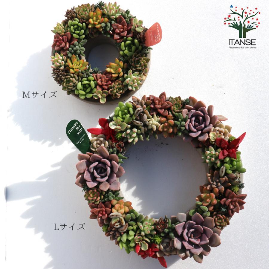 多肉植物 寄せ植え succulent wreath L(多肉リースL) 多肉植物  サイズイメージ:高さ約10cm×幅約26cm×奥行約26cm 1個売り  送料無料|itanse|08