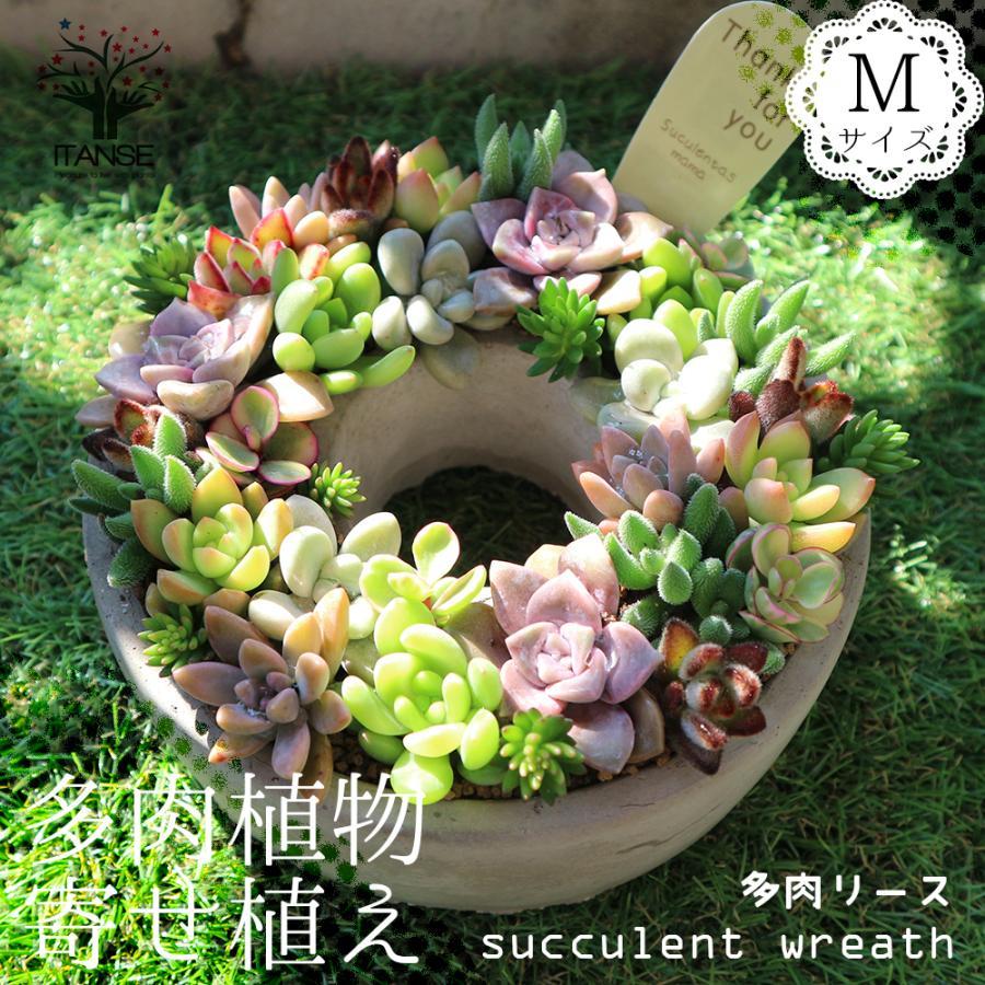 多肉植物 寄せ植え succulent wreath M(多肉リースM) 多肉植物  サイズイメージ:高さ約8cm×幅約16cm×奥行約16cm 1個売り  送料無料|itanse