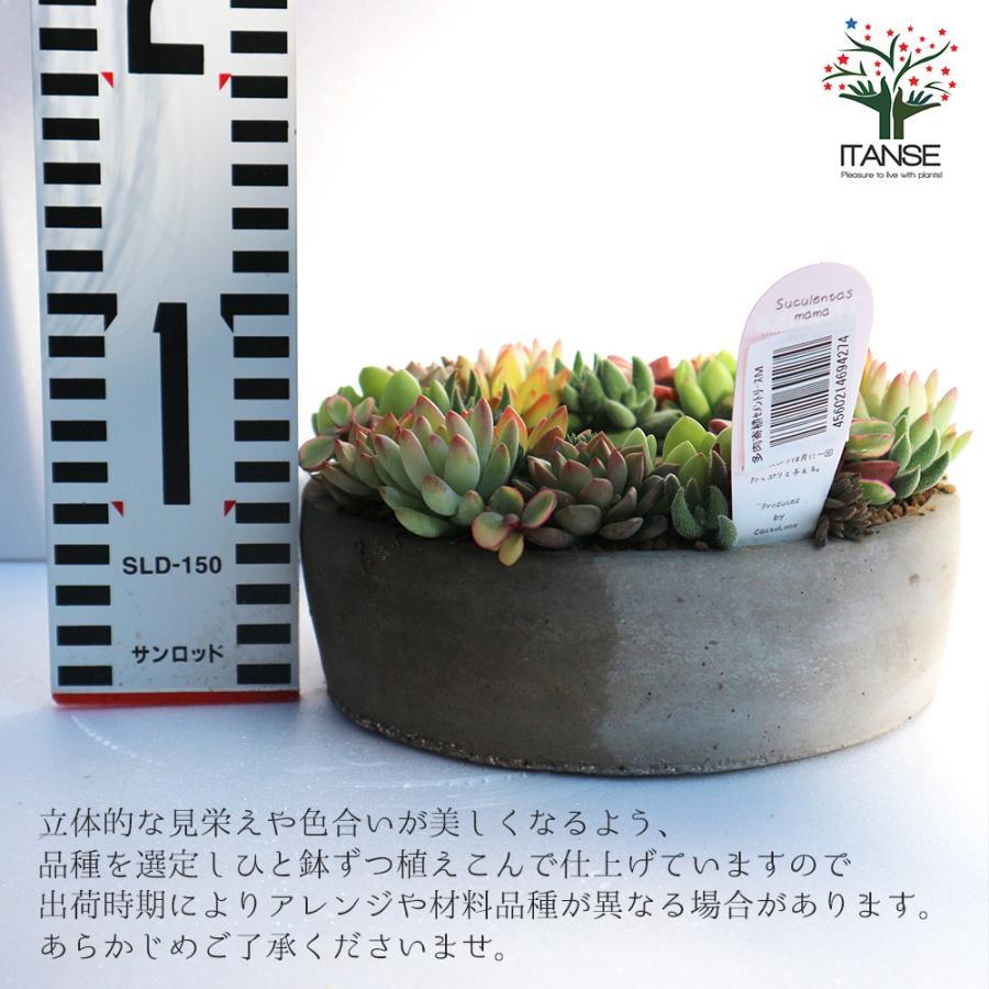 多肉植物 寄せ植え succulent wreath M(多肉リースM) 多肉植物  サイズイメージ:高さ約8cm×幅約16cm×奥行約16cm 1個売り  送料無料|itanse|02