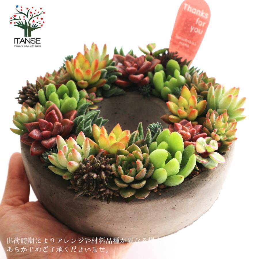 多肉植物 寄せ植え succulent wreath M(多肉リースM) 多肉植物  サイズイメージ:高さ約8cm×幅約16cm×奥行約16cm 1個売り  送料無料|itanse|11