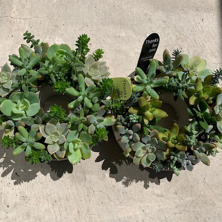多肉植物 寄せ植え succulent wreath M(多肉リースM) 多肉植物  サイズイメージ:高さ約8cm×幅約16cm×奥行約16cm 1個売り  送料無料|itanse|04