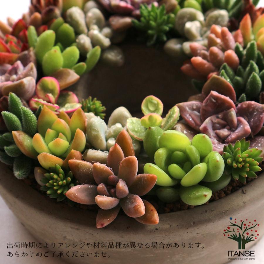 多肉植物 寄せ植え succulent wreath M(多肉リースM) 多肉植物  サイズイメージ:高さ約8cm×幅約16cm×奥行約16cm 1個売り  送料無料|itanse|05