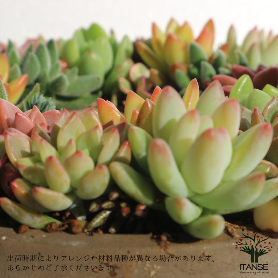 多肉植物 寄せ植え succulent wreath M(多肉リースM) 多肉植物  サイズイメージ:高さ約8cm×幅約16cm×奥行約16cm 1個売り  送料無料|itanse|06