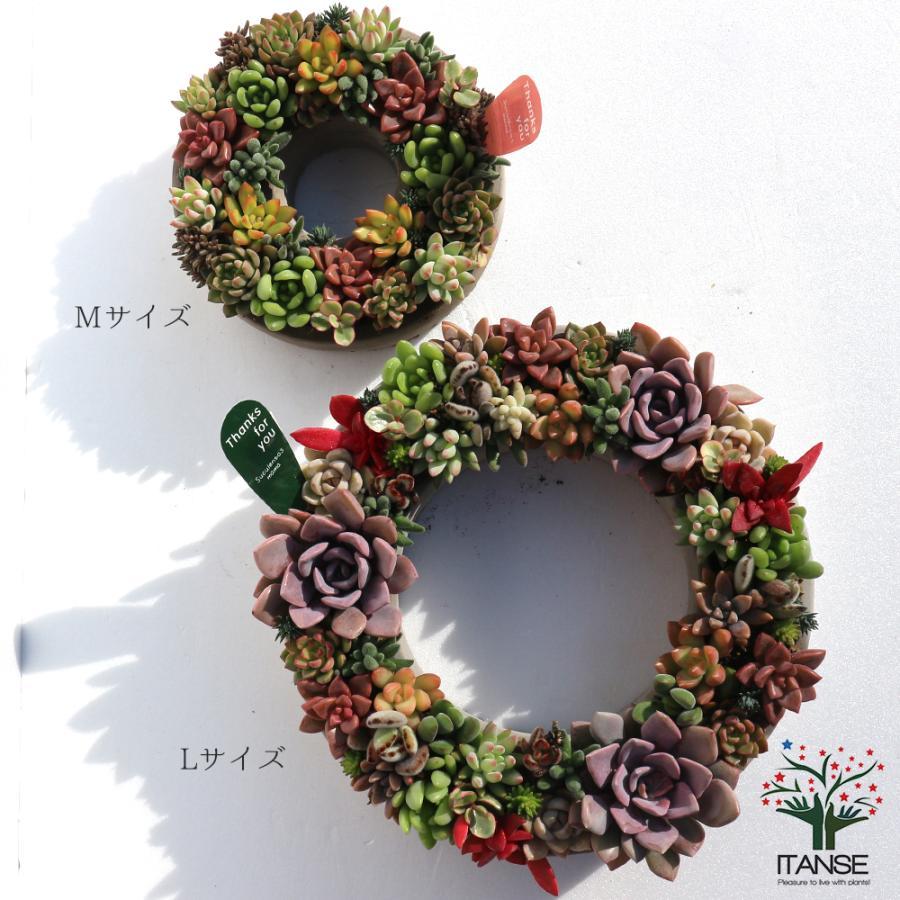 多肉植物 寄せ植え succulent wreath M(多肉リースM) 多肉植物  サイズイメージ:高さ約8cm×幅約16cm×奥行約16cm 1個売り  送料無料|itanse|07
