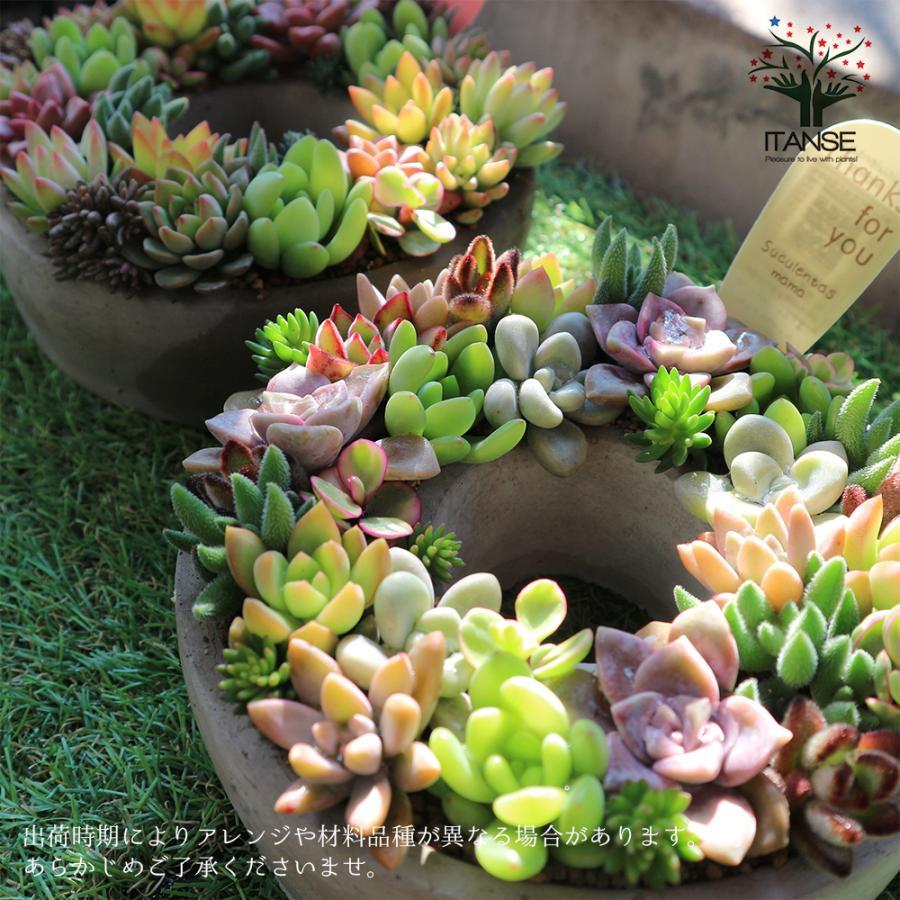 多肉植物 寄せ植え succulent wreath M(多肉リースM) 多肉植物  サイズイメージ:高さ約8cm×幅約16cm×奥行約16cm 1個売り  送料無料|itanse|08