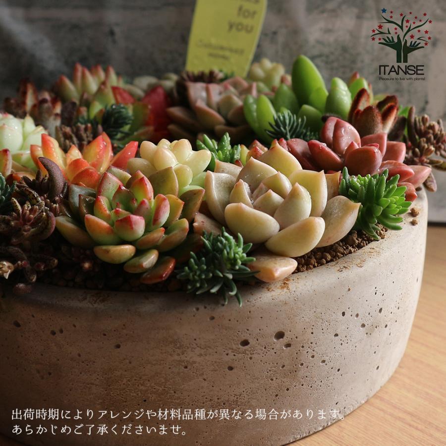 多肉植物 寄せ植え succulent wreath M(多肉リースM) 多肉植物  サイズイメージ:高さ約8cm×幅約16cm×奥行約16cm 1個売り  送料無料|itanse|09