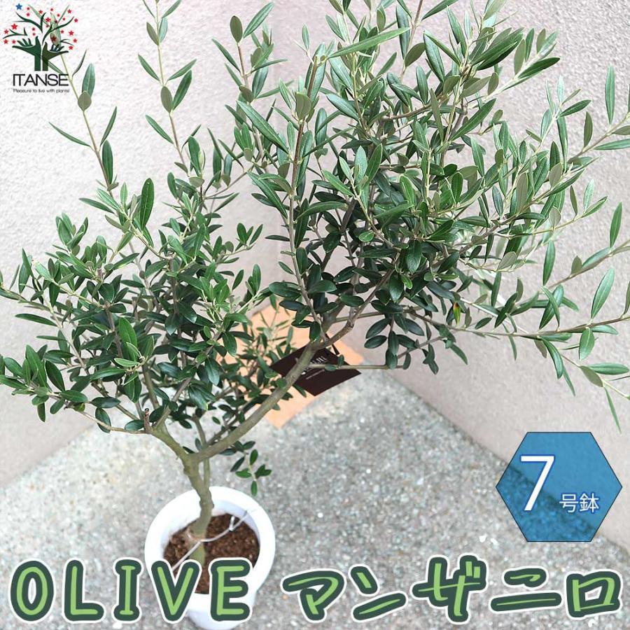 送料無料 オリーブの苗木 マンザニロ 幹が太くしっかりした大苗 果樹の苗木 7号鉢 5年生 挿し木苗 開店祝い シ 品質保証 olive 1個売り オリーブ苗 おりーぶ