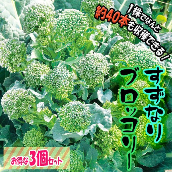 すずなりブロッコリー苗 お買い得3個セット お買得 多収穫茎ブロッコリー 1株で約40本以上 チープ 長期間収穫可能な多収穫茎ブロッコリー 送料込 即出荷 9cmポット苗