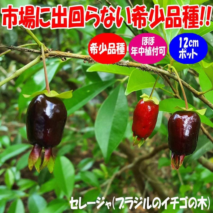 セレージャ 舗 ブラジルのイチゴの木 の苗木 12cmポット大苗 青果はなかなか出回らないので自分で育てるしかないブラジル原産のトロピ 正規認証品!新規格 希少価値あり 1個売り