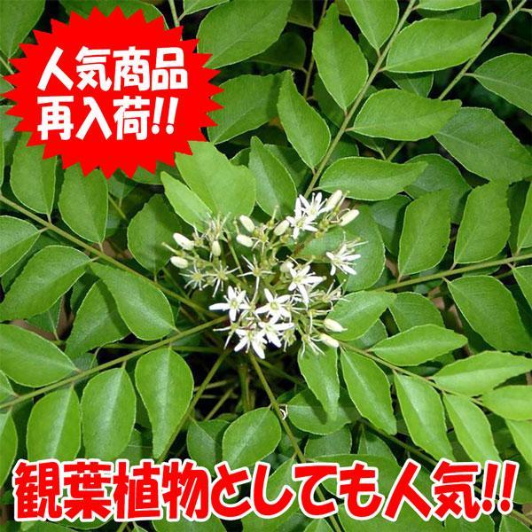 カレーリーフの苗木 9cmポット苗 1個売り 希少なカレーリーフの苗が入荷しました 定番から日本未入荷 お中元 葉を乾燥すると香りが飛んでしまいます 風味を楽しむためには 自分で