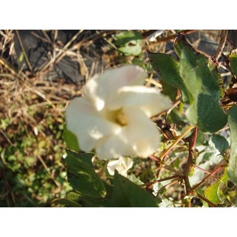 【無農薬栽培】綿の種「赤綿」(30粒)※栽培説明書付き|itomedetashi|03