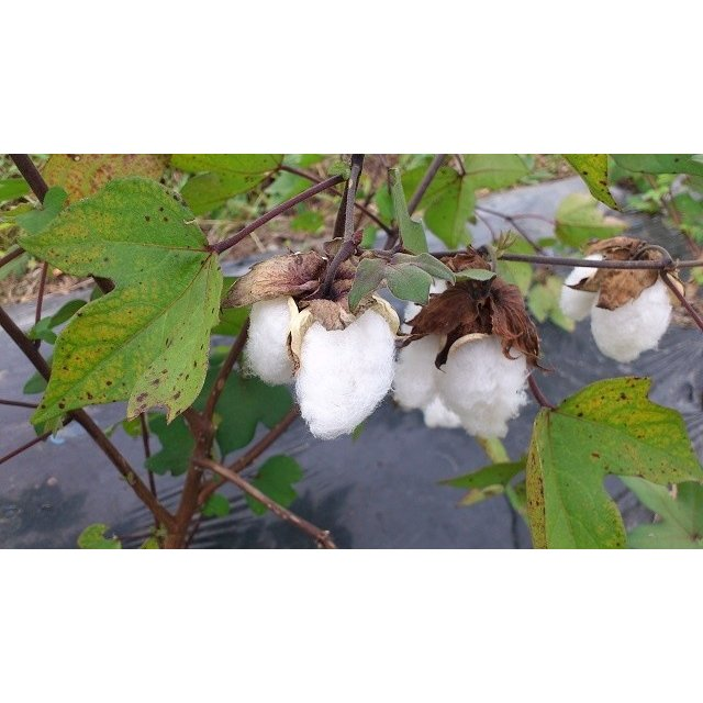 【無農薬栽培】綿の種「和綿・真岡木綿」(大口用200粒)※栽培説明書付き|itomedetashi