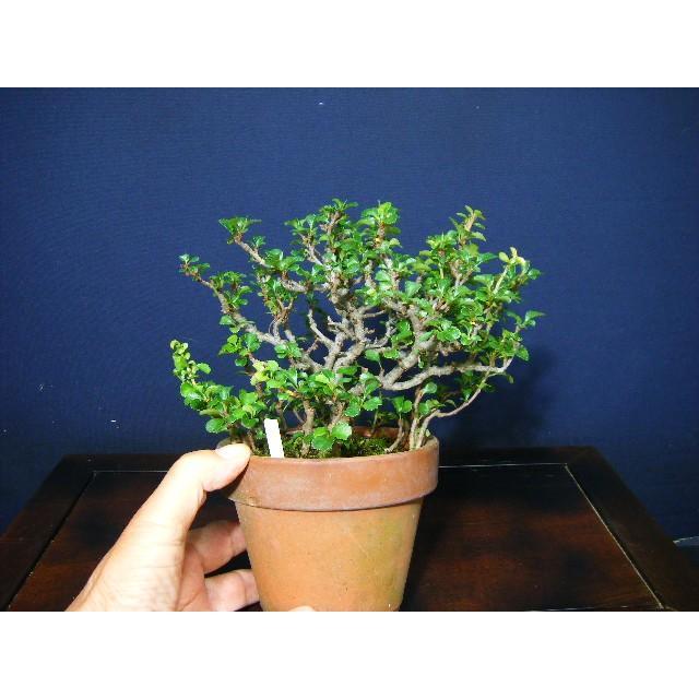 長寿梅小品盆栽素材|izubonstore