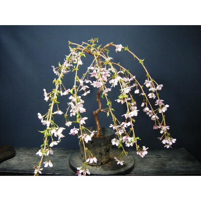 さくら盆栽>枝垂れ桜花芽が沢山、開花楽しみ、現物発送 izubonstore 03