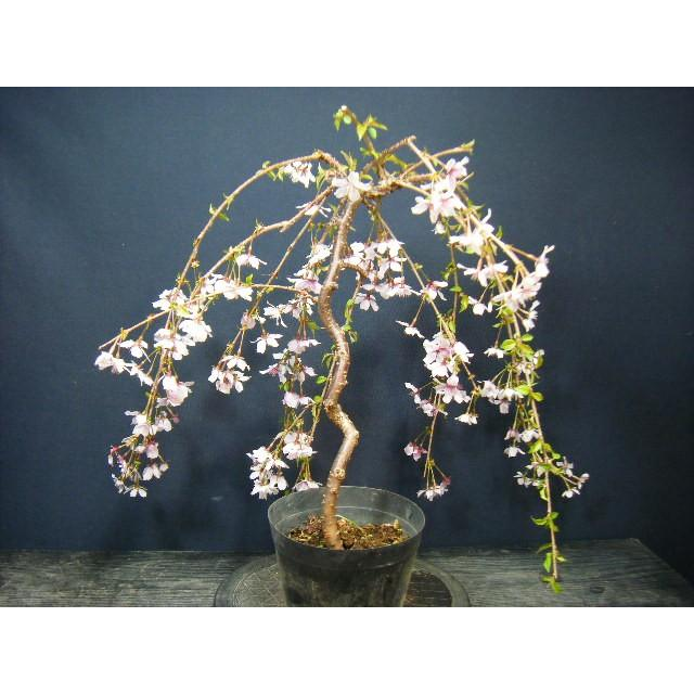 桜盆栽>枝垂れ桜つぼみがいっぱい、開花楽しみ 現物発送 izubonstore 03