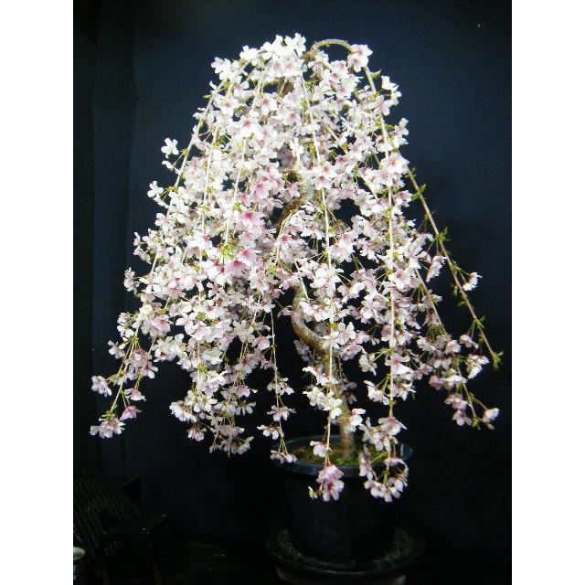 桜盆栽>しだれ桜大品(55)つぼみが沢山開花は楽しみ |izubonstore