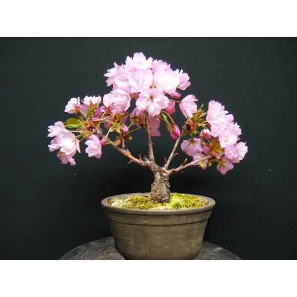 旭山一才桜ミニ盆栽【7】小さいのに花が沢山咲きます 現物発送|izubonstore|04