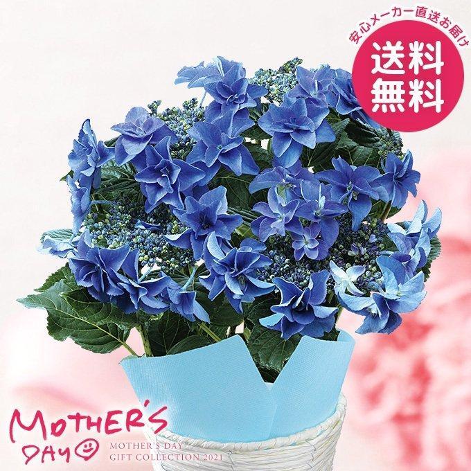 色移りアジサイ鉢植え フェアリーアイ ブルー