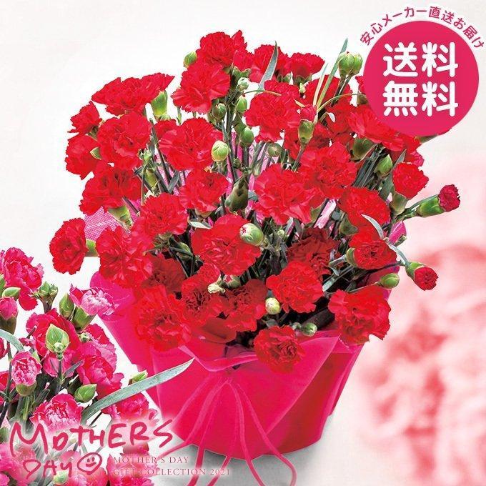 カーネーション鉢植え 赤