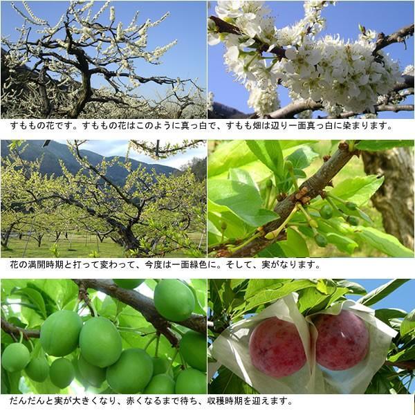 お中元 フルーツ すもも プラム ギフト 山梨産 貴陽(きよう)スモモ キヨウ|jerichojericho|06
