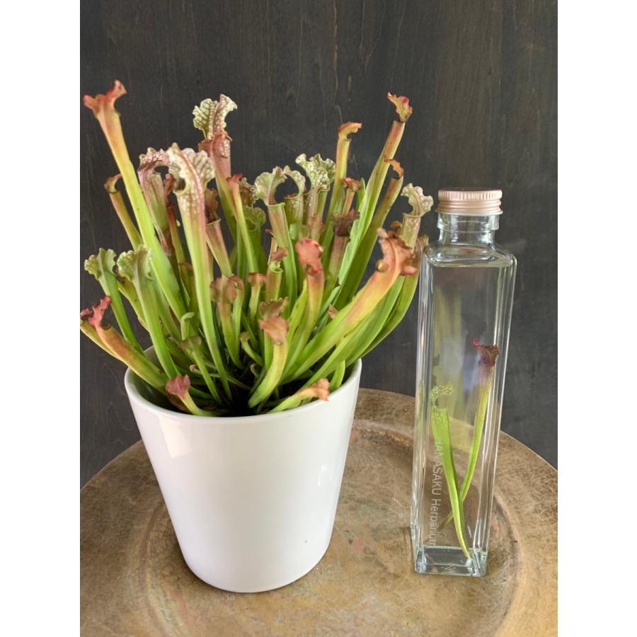 サラセニア Sarracenia Stevensii 花咲くハーバリウム 花、ガーデニング ハーバリウム (44693)|kagoen-nursery|02