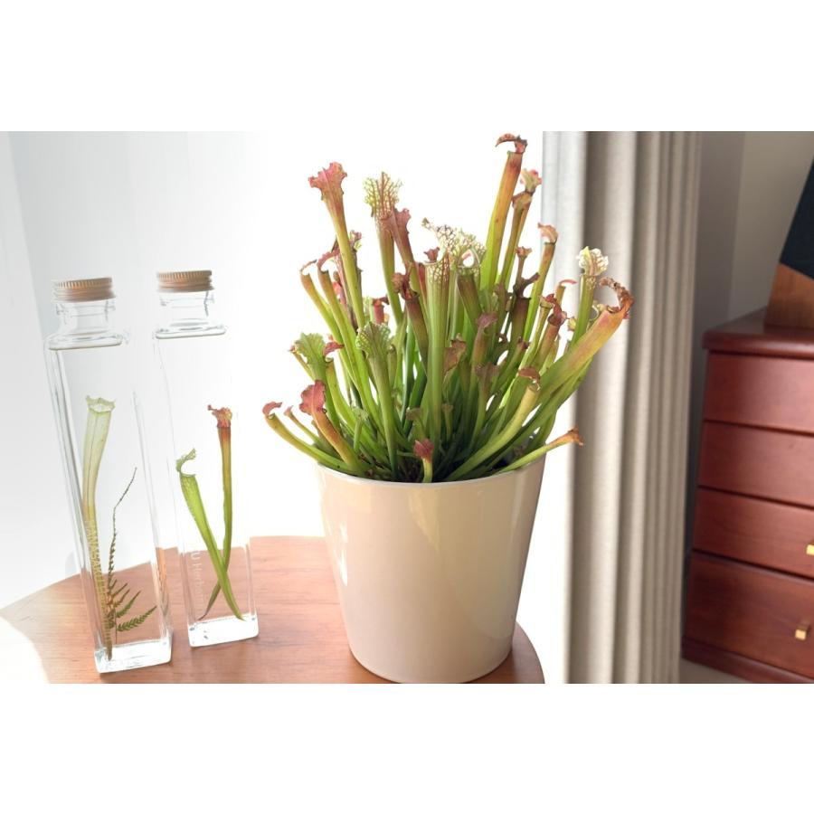サラセニア Sarracenia Stevensii 花咲くハーバリウム 花、ガーデニング ハーバリウム (44693)|kagoen-nursery|04
