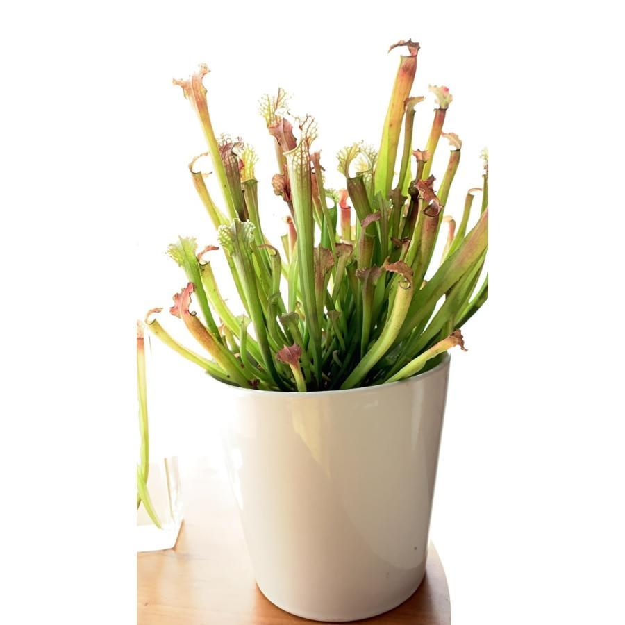サラセニア Sarracenia Stevensii 花咲くハーバリウム 花、ガーデニング ハーバリウム (44693)|kagoen-nursery|05