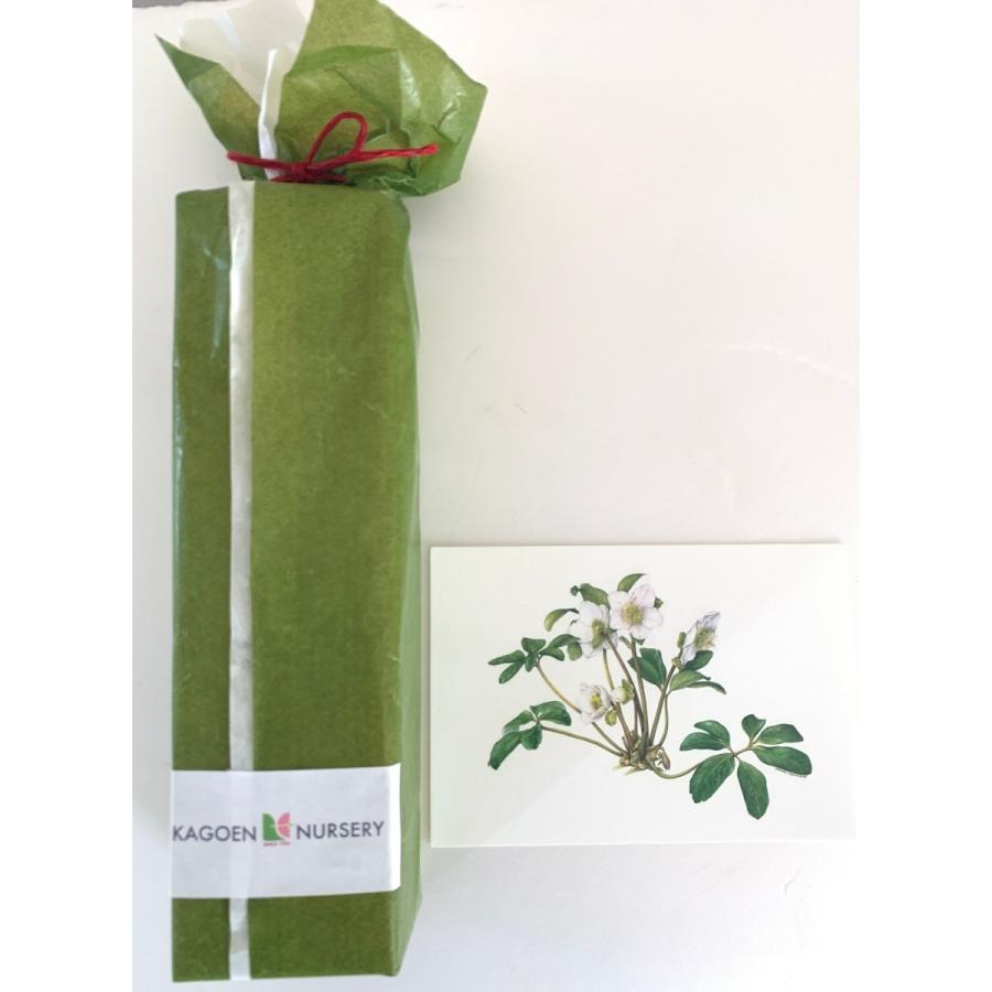 シュウメイギク 花咲くハーバリウム kagoen-nursery 03