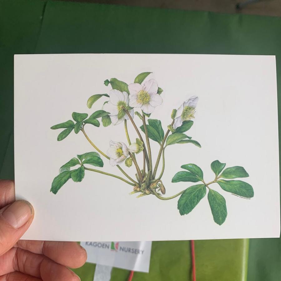 クリスマスローズ 「ホワイトダブル」 花咲くハーバリウム|kagoen-nursery|05