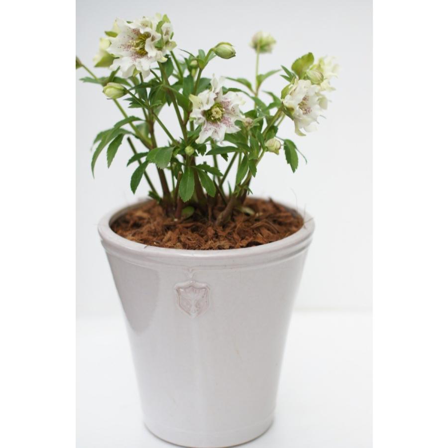 Rose  de Noel Parfaite 7号Lサイズ 花、ガーデニング 園芸用品 鉢、プランター 庭、ガーデニング 鉢、プランターカバー (4054) kagoen-nursery 04