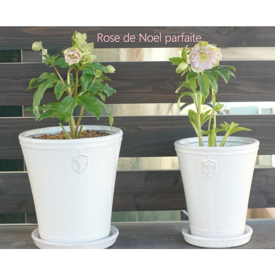 Rose  de Noel Parfaite 7号Lサイズ 花、ガーデニング 園芸用品 鉢、プランター 庭、ガーデニング 鉢、プランターカバー (4054) kagoen-nursery 08
