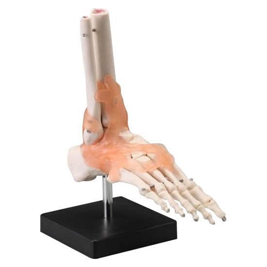 人体模型シリーズ 足関節模型_/sgktb-0870ak