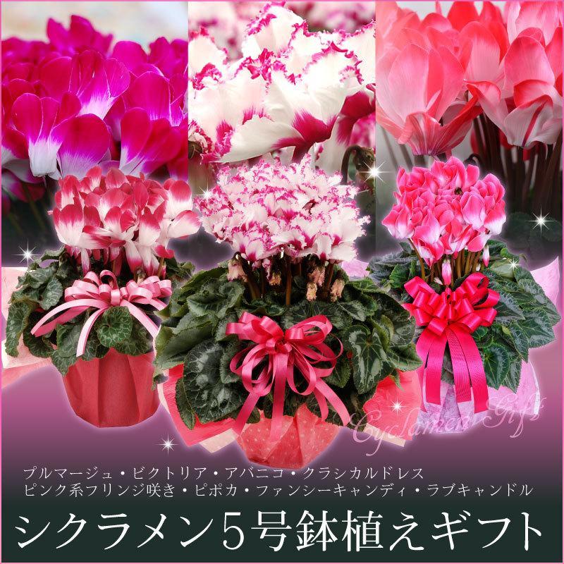 シクラメン 鉢植えギフト 5号鉢 選べる8品種 花の ギフト お歳暮 クリスマス 誕生日 プレゼント フラワーギフト kajoen
