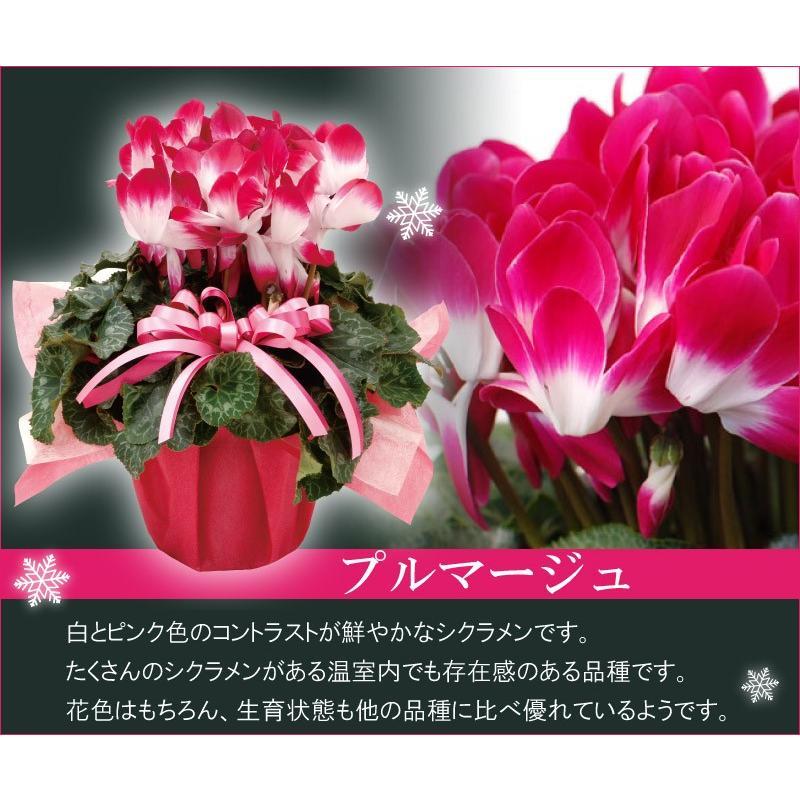 シクラメン 鉢植えギフト 5号鉢 選べる8品種 花の ギフト お歳暮 クリスマス 誕生日 プレゼント フラワーギフト kajoen 02