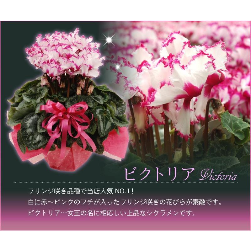 シクラメン 鉢植えギフト 5号鉢 選べる8品種 花の ギフト お歳暮 クリスマス 誕生日 プレゼント フラワーギフト kajoen 03