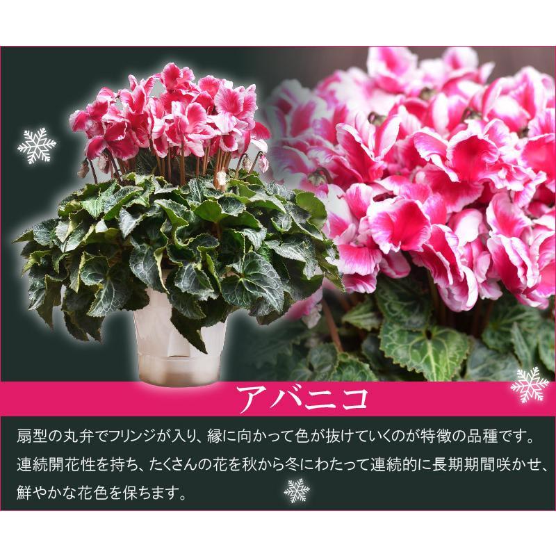 シクラメン 鉢植えギフト 5号鉢 選べる8品種 花の ギフト お歳暮 クリスマス 誕生日 プレゼント フラワーギフト kajoen 04
