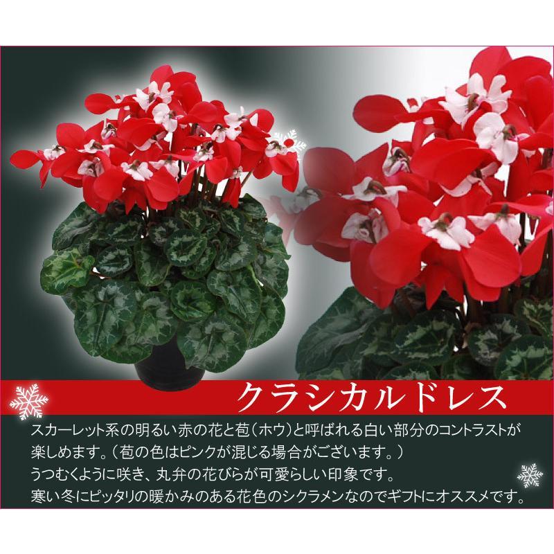シクラメン 鉢植えギフト 5号鉢 選べる8品種 花の ギフト お歳暮 クリスマス 誕生日 プレゼント フラワーギフト kajoen 05