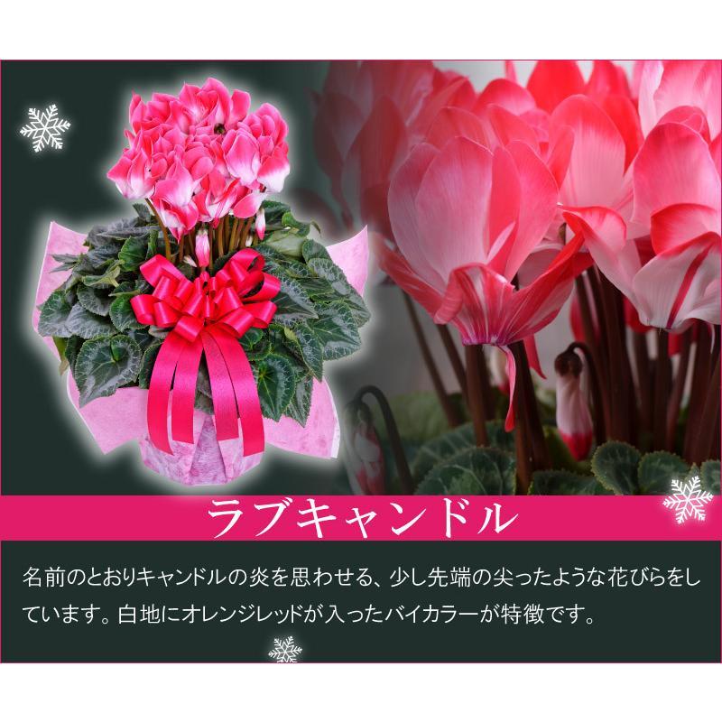 シクラメン 鉢植えギフト 5号鉢 選べる8品種 花の ギフト お歳暮 クリスマス 誕生日 プレゼント フラワーギフト kajoen 06