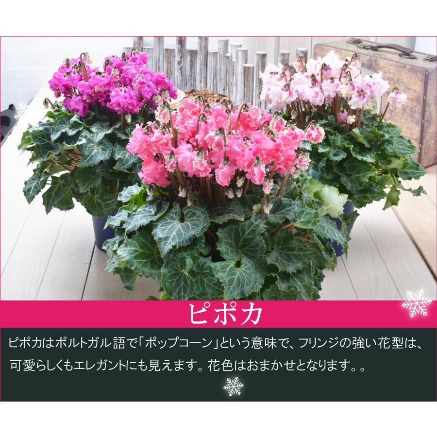 シクラメン 鉢植えギフト 5号鉢 選べる8品種 花の ギフト お歳暮 クリスマス 誕生日 プレゼント フラワーギフト kajoen 07