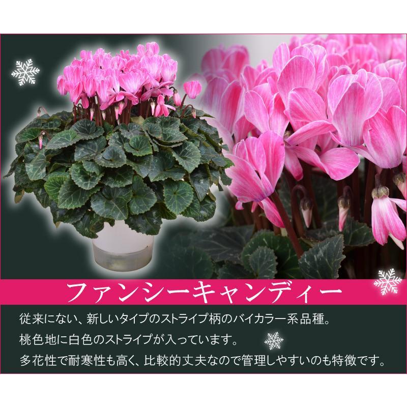 シクラメン 鉢植えギフト 5号鉢 選べる8品種 花の ギフト お歳暮 クリスマス 誕生日 プレゼント フラワーギフト kajoen 08
