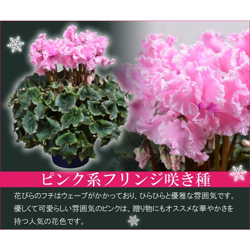 シクラメン 鉢植えギフト 5号鉢 選べる8品種 花の ギフト お歳暮 クリスマス 誕生日 プレゼント フラワーギフト kajoen 09