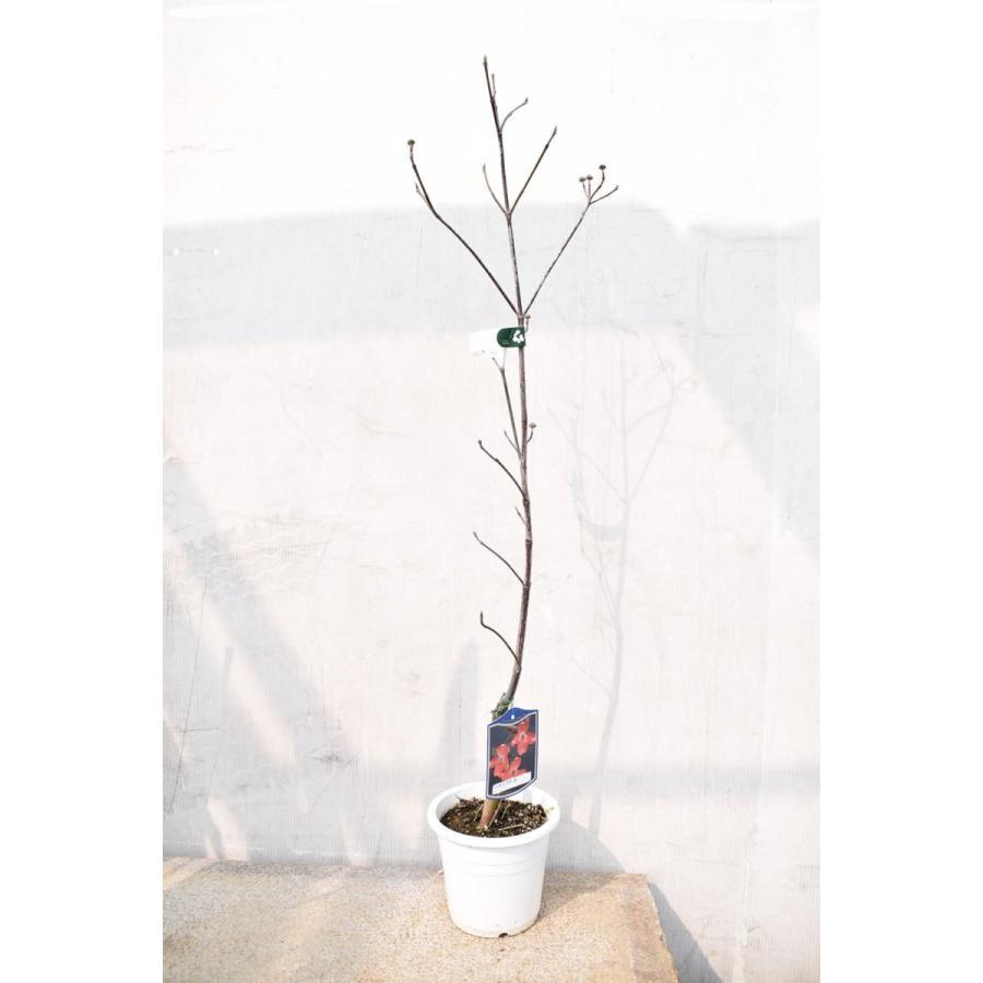アメリカ花水木|kajoenjp